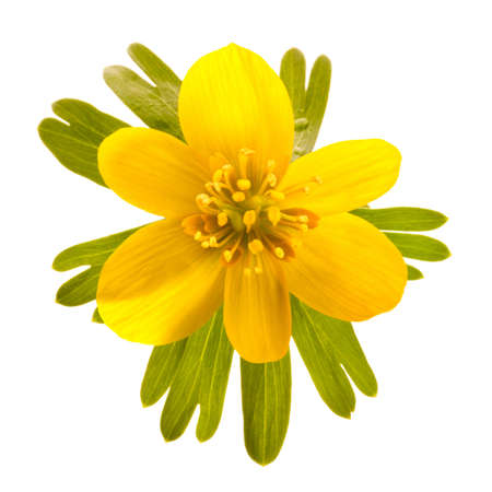 Wild winter aconite, isolated on white photo