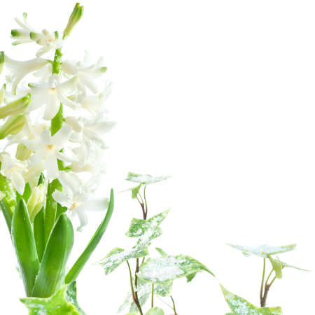 snow flowers: White pearl hyacinth under melting snow, isolated on white Stock Photo
