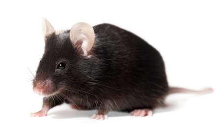 genetically modified: Black laboratory mouse, adult female, isolated on white