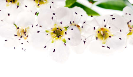 rosaceae: Chokeberry, or Aronia flowers isolated on white, copyspace