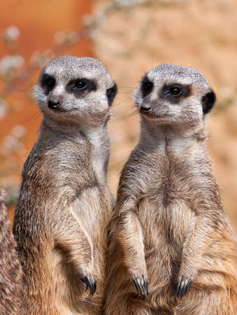 suricata suricatta: Two meerkats in the same alert position Stock Photo