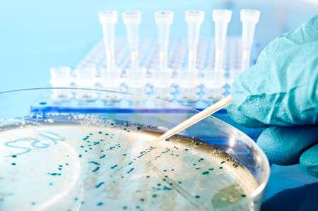 clonacion: Colonia bacteriana de picking para la clonaci�n de ADN Foto de archivo