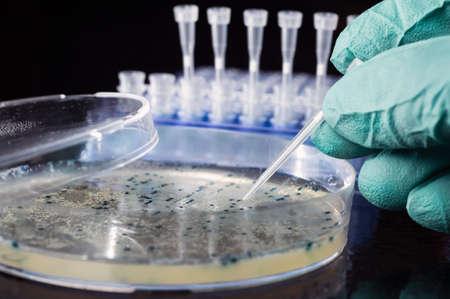 clonacion: Colonia bacteriana de picking para la clonaci?n de ADN