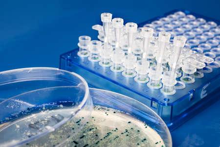 clonacion: Colecci�n de colonias de bacterias de la placa de agar para la clonaci�n
