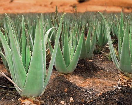 canary islands: Aloe vera field; Furteventura, Canary Islands, Spain Stock Photo