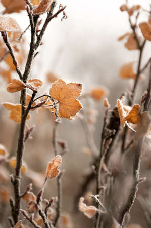 redcurrant: Frost on redcurrant leaves Stock Photo