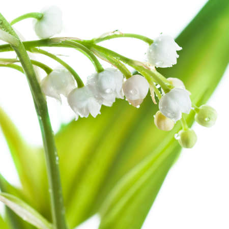 Lily of the Valley (Convallaria Majalis) isolated on white  photo