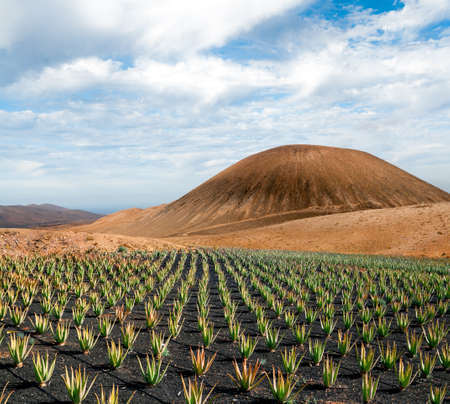 canary: Aloe vera field; Furteventura, Canary Islands, Spain