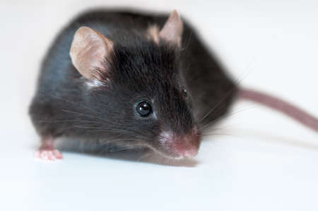 mouse: Black mouse on light background