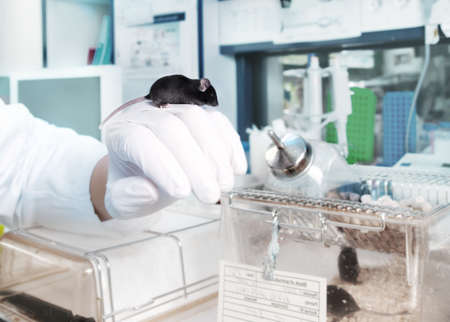 Work with transgenic mouse in modern laboratory photo