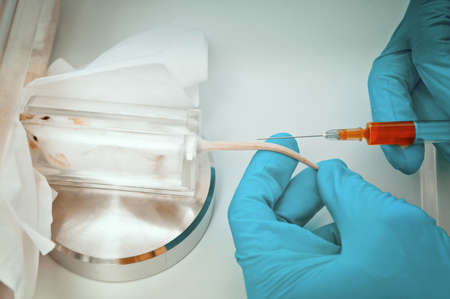 laboratory animal: Scientist gets ready to take blood from mouse tail vein