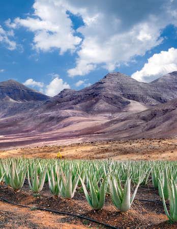 Aloe vera plantation, Fuerteventura, Spain