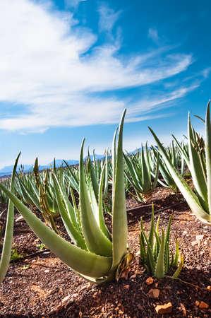Aloe vera field; Furteventura, Canary Islands, Spain