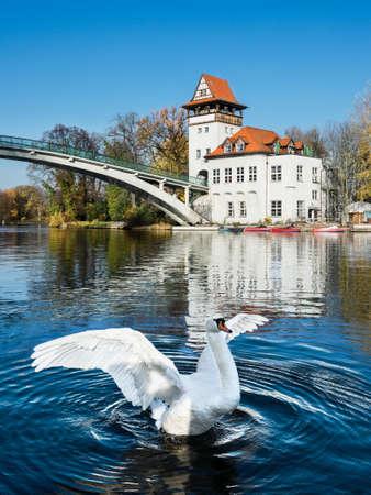treptow: White swan flaps wings on river Spree in Treptow Park, Berlin, Germany