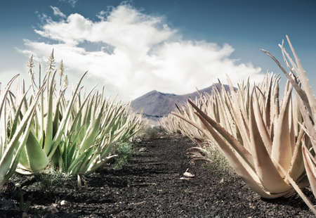 Aloe vera field at Fuerteventura, tinted image photo