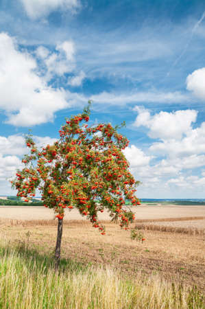 Vogelbeere: Eine einzige Eberesche durch den Halb geernteten Weizenfeld unter Herbsthimmel