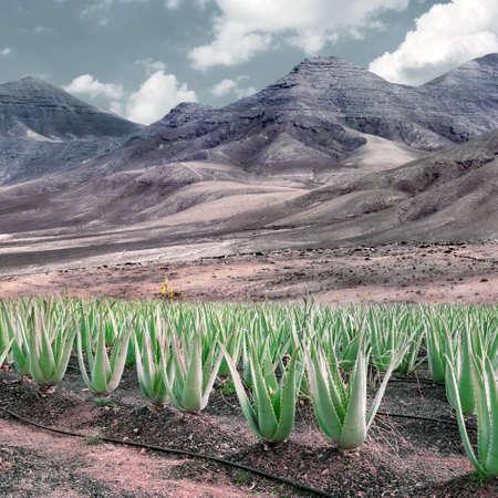 Aloe vera plantation, Fuerteventura, Spain, toned image photo