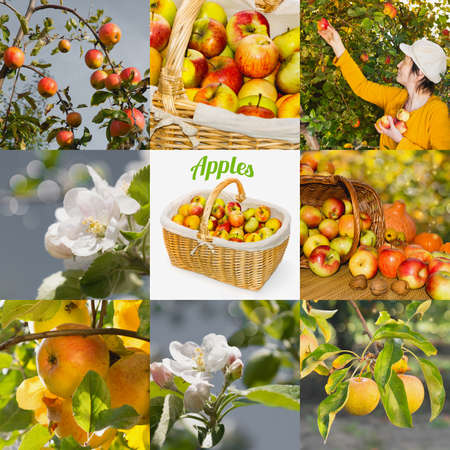 APPLE trees: Collage with apple trees, blossoms and ripe fruits