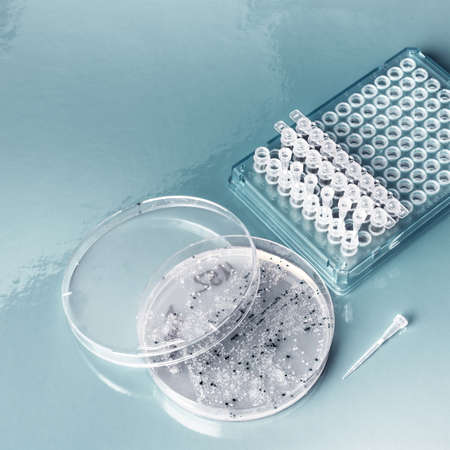 amplification: Bacterial colonies and plastic tubes for colony collection