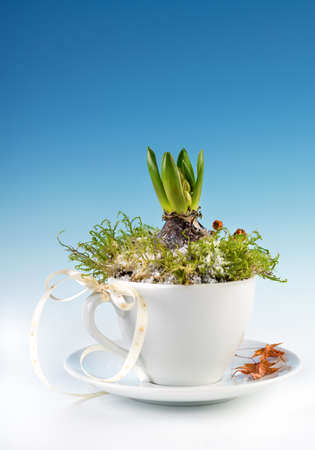 early spring snow: Young hyacinth bulb planted in a white cup on blue-white gradient background. Space for your text