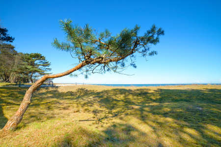 baltic sea: Young pine tree on the edge of dunes by Baltic Sea on Rugen island, Northern Germany.