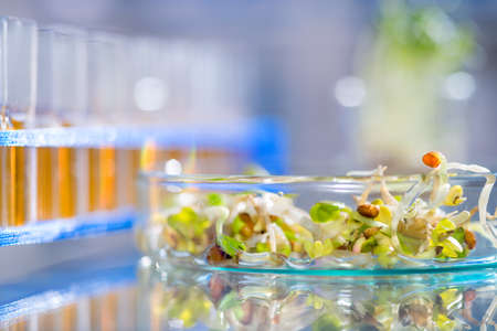 sprouts: Quality control of bean sprouts for signs of bacterial or chemical contamination Stock Photo