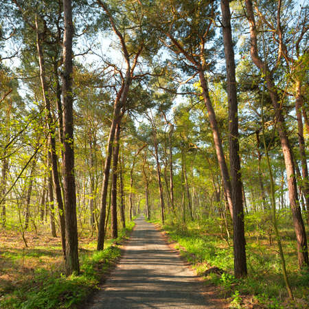 alongside: A narrow foot path in pine forest, alongside Baltic Sea in island Rugen, Northern Germany Stock Photo