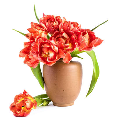 Red tulips in clay vase on white background. Space for your text