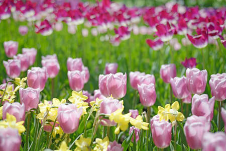 defocussed: Lines of colorful tulps and daffodils in spring garden. Blurred floral background, there is no focus point here.