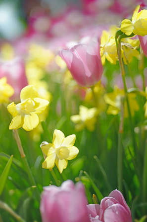 defocussed: Lines of colorful tlups and daffodils in spring garden. Blurred floral background, there is no focus point here.