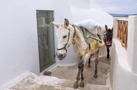 house donkey: Traditional donkeys on old stone stairs of Oia village, Santorini, Greece