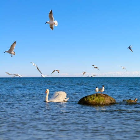 Seagulls hunt for small fish in the shallow Baltic Sea by island Rugen in Northern Germany. Shallow DOF, focus on the swan.