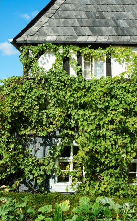 shutter: Historical building, closeup on a wall coveded with overgrown by grapes vine. Romantic architecture of rural areas in Saxony, Germany. Stock Photo
