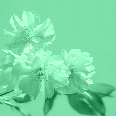 Closeup on sakura, cherry blossoms with drops of dew, toned in meo mint color. Square composition, image toned in light green.