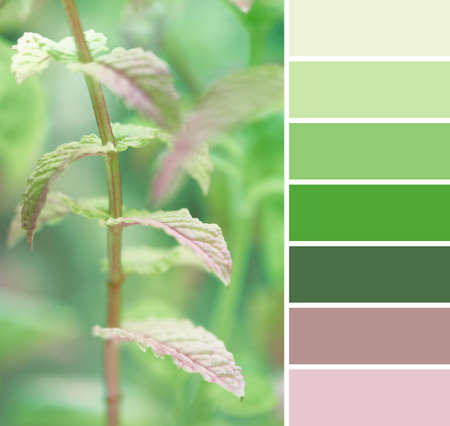 Color matching palette from close-up toned image of fresh mint leaves in the garden, natural palette with several close light green colors Stock Photo