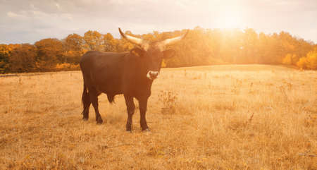 Ankole Watusi bull, known for its large horns. The Ankole cow is named after the Watusi tribe of Africa. Panoramic Autumn seasonal toned image.
