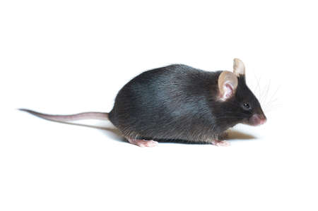 Adult black mouse, closeup. Animal isolated on white background with copy-space.