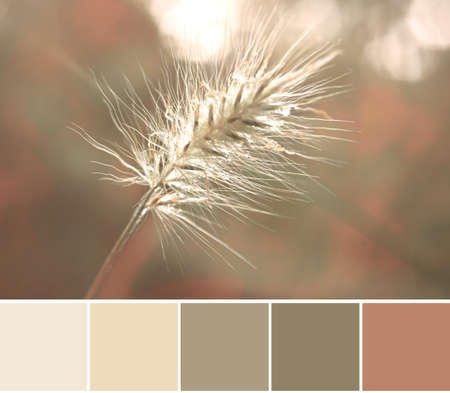 Color matching analogous natural Autumn color palette from a close-up image of Rabbit Tail Grass head Imagens