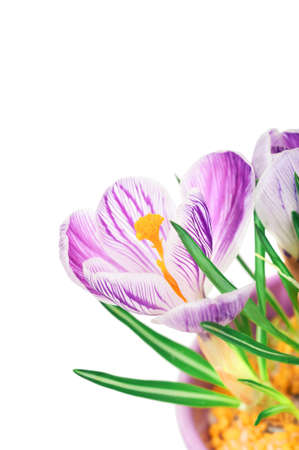 Purple crocus flower close-up isolated on white background. Nature floral Springtime bright background with corner composition and copy-space.