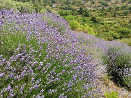 Close-up on mountain lavender field on Hvar island, Croatia