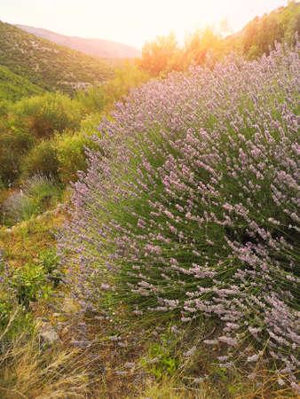 Mountain lavender field on Hvar island in Croatia with orange glow from setting Sun
