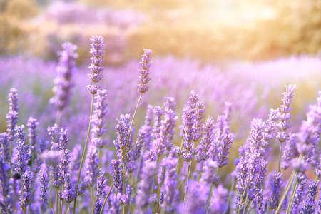 Mountain lavender in sunset flare on Hvar island Croatia