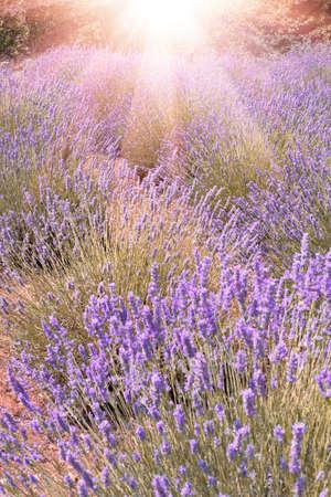 Mountain lavender in sunset flare on Hvar island, Dalmatia, Croatia