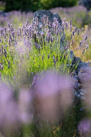 Close-up on mountain lavender on Hvar island in Croatia. Lavender swaying on wind over sunset sky, harvest, aromatherapy, perfume ingredient 版權商用圖片