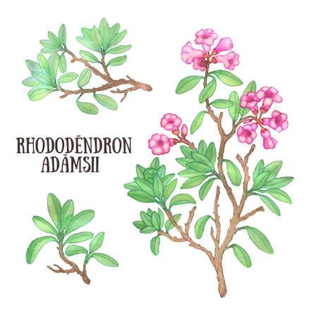 labrador: Rhododendron adamsii sagan-dali labrador tea bush watercolor illustration Stock Photo