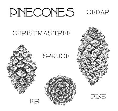 cone: Pinecones set. Cedar, christmas tree, spruce, fir, pine isolated on white hand-drawn illustration