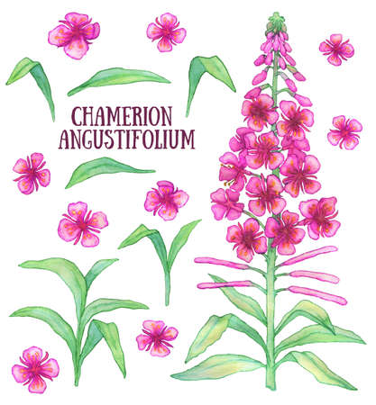 angustifolium: Fireweed chamerion angustifolium  rosebay willowherb aquarelle illustration