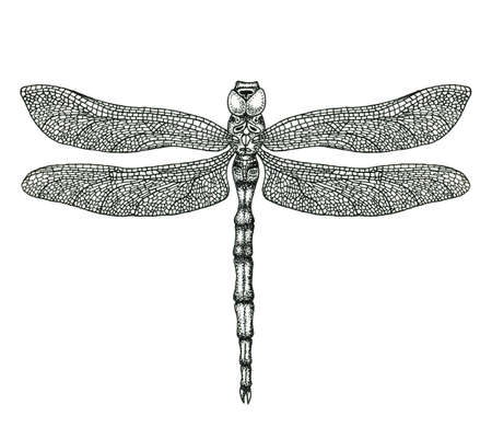insect: Hand-drawn dragonfly isolated on white. Hand-drawn illustration