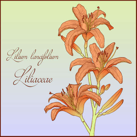 orange lily: Hand drawn background with colorful tiger lily branch for greeting cards, invitation etc. Vector illustration