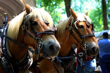 deportment: Two horses are ready to go